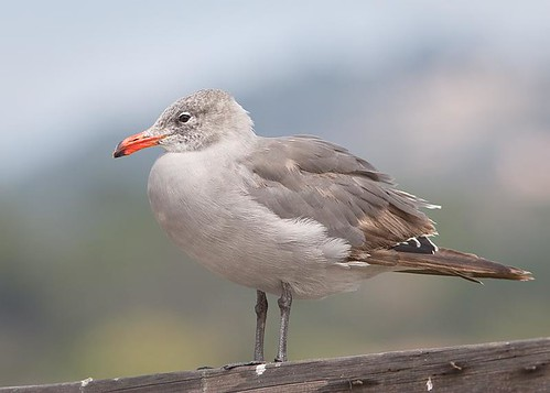 Heermann's Gull by you.