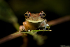 Tree Frog (Burrard-Lucas Wildlife Photography) Tags: tree ecuador amazon rainforest frog theperfectphotographer