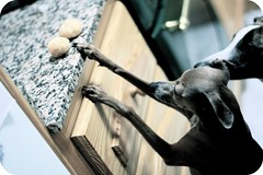 Team Work (Dada Mar) Tags: dogs profiteroles kitchen team italiangreyhound whippet stealing alwayshungry cute funny naughty explore