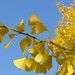 Ginkgo with beautiful yellow