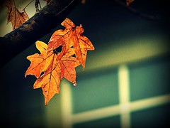 g s ig vakinn (Aubirdy) Tags: autumn light house fall water leaves rain canon outside outdoors droplets lyrics drops colorful seasons crossprocess grainy ros sigur icelandic hopelandic