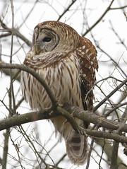Barred Owl   By Mark Trabue (Mark Trabue) Tags: bird mark owl barred nwr ias muscatatuck trabue vosplusbellesphotos