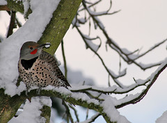 Northern Flicker (shesnuckinfuts) Tags: winter snow male bird nature backyard woodpecker wildlife northernflicker colaptesauratus kentwa redshafted shesnuckinfuts december2008