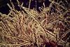 Encased. (Cody Bralts) Tags: winter plant cold ice encased icestorm omg bralts