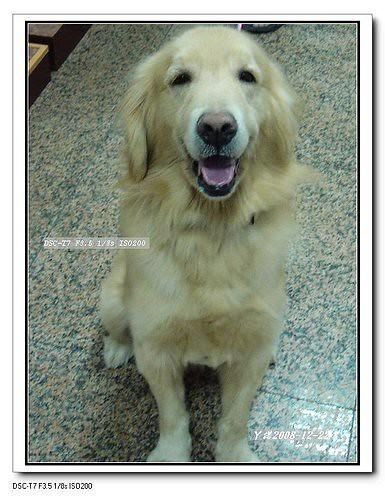 2008-12-24-「棄養認養」桃園中壢被混蛋丟棄在大馬路,不畏車撞就是要找混帳主人的黃金獵犬ㄚ諾弟弟-目前住在醫院~開放認養