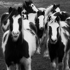 Hello horses (louisahennessysuou) Tags: horses field piebald essex southend rochford naturesfinest blackwhitephotos december2008 240365 theunforgettablepictures goldstaraward natureselegantshots t189project365 artistictreasurechest southendflickrpillboxwalk