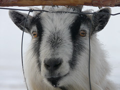 Button eyes (annkelliott) Tags: canada nature animal mammal lumix farm goat alberta birdcount annkelliott fz18 panasonicdmcfz18 nantonarea p1430323fz18