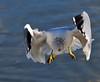 Stalled Gull (ozoni11) Tags: seagulls bird nature birds animal animals interestingness nikon searchthebest seagull gull gulls explore 204 columbiamaryland d300 supershot interestingness204 i500 lakekittamaqundi michaeloberman explore204 ozoni11 goldstaraward