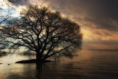 A Lakeside Tree (HarQ Photography) Tags: winter sunset lake tree beautiful japan sigma calm shiga lakebiwa platinumphoto s5pro flickraward platinumheartaward