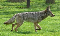 Wild Coyote (Somersville, California, United States) Photo