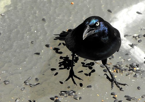 Grackles always look cranky!!!