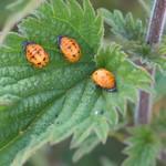 Coccinelles larves