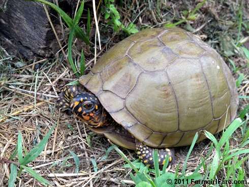 Turtle in the kitchen garden - Farmgirl Fare
