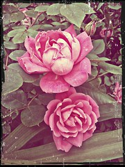 vintage roses (lucymagoo_images) Tags: pink flower nature rose antique framed faded photoeffects befunky lucymagoo lucymagooimages