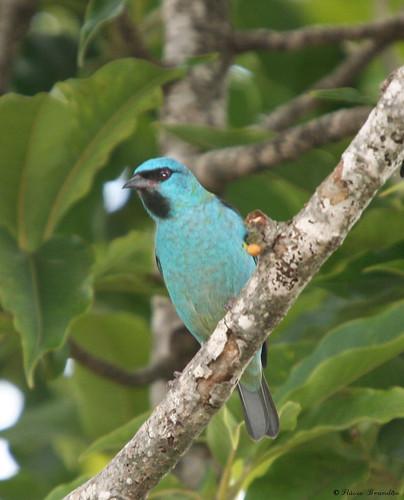 Macho de Sa?azul, Sa? Sa?bico-fino ou Sa?bicudo -  (Dacnis cayana) - A male of a Blue Dacnis or Turquoise Honeycreeper 24-02-2008 012