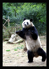 Panda exercising at the Chengdu panda base 2008 (electra-cute) Tags: panda chengdu base pandarazziblog