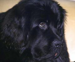 Happy Birthday Haley! (Dutchdane Photo) Tags: birthday dog newfoundland puppy pup 1year haley newf goldenglobe flickrenvy explorewinnersoftheworld