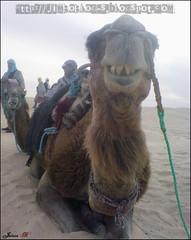 yooo! waz up!! (Jimbo pht) Tags: africa sahara sand desert tunisia movil el dromedary arena camel desierto camello ksar ghilane sonyericcson k800i tunez dromedario tunisa dromedari ksarelghilane