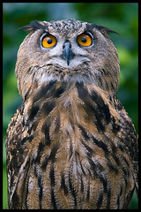 Eurasian Eagle Owl (Eric Flexyourhead) Tags: bird japan bokeh feathers owl eurasianeagleowl bubobubo kakegawa kachoen naturesfinest zd olympuse500 40150mm shizuokaken