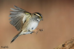 (#175) Oh Sweet Canada Canada (tinyfishy (Gone to Cuba)) Tags: white ontario bird flying inflight sparrow whitethroatedsparrow throated thicksonwoods