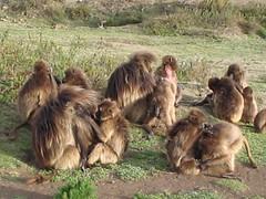 Geladas grooming, 2 (sluggo5) Tags: ethiopia gelada menz guassa