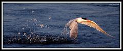 Tern Makes Big Splash Emerging from Water (CandlestickPark) Tags: california nature birds outdoors wings fishing nikon raw eating wildlife hunting 300mm orangecounty nikkor tern egret huntingtonbeach teleconverter bif bolsachica greatwhiteegret birdinflight tc14eii 300mmf4 nature1 420mm d40 300mmf4afs 14xtc capturenx nikond40 420mmf56
