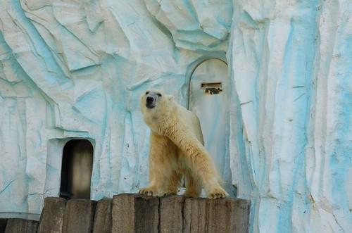 很熱的北極熊