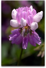 Crown Vetch (Securigera varia) - very tiny! (hadowdancer) Tags: white flower nikon purple lilac tiny wildflower excellence nikkor105mmf28micro d80 rentglasscom rentedlens flickrgold impressedbeauty diamondclassphotographer flickrdiamond macromarvels