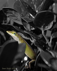 Early Morning Dew (BiloxiSean) Tags: mississippi lizard biloxi selectivecolorization aficinonados