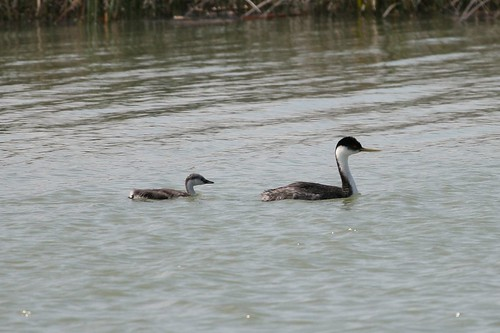 Western Grebe with Chick