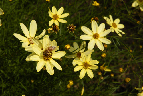 Coreopsis verticillata 'Moonbeam'  Photo by Ivo M. Vermeulen