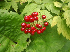 Red Baneberry (Violetentity) Tags: nature wildflowers urbanpark wildplants baneberry rockwoodpark