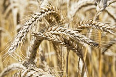 Big Ears (Andy Brown (mrbuk1)) Tags: food texture field spiky healthy dof natural wheat farming cereal harvest crop ear organic wholesome kernel