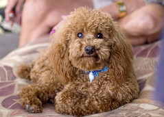 Lincoln (Jenna Belle) Tags: becky lincoln redpoodle