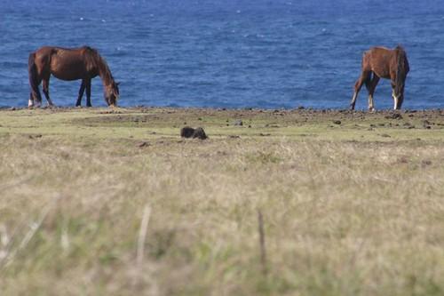 Horses near Rano Raraku, Rapa Nui.