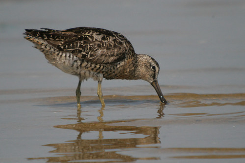 Short-billed Dowitcher {Limnodromus griseus}