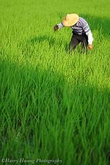 1D30_7474-Rice,Farmer, Taiwan 農忙-稻田-除草-農夫農作-農業-farmland, cropland, Agriculture, Paddy, traditional (by Harry‧黃基峰‧Taiwan)