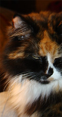 Miss Elegance (ginfox) Tags: brown white black animal cat feline calico