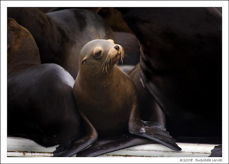 Sea Lions - 3