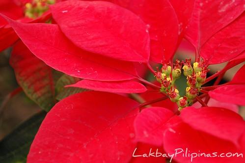 Poinsettia at Malagos Garden Resort