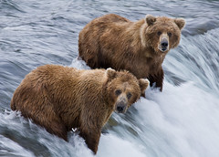 Brooks Falls (streetlicht) Tags: alaska grizzly brownbear brooksfalls katmai