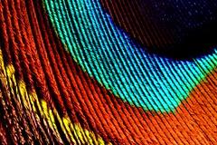 peacock08