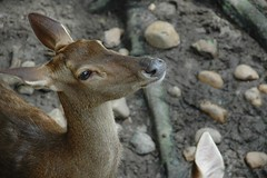 Deer (WrldVoyagr) Tags: geotagged deer explore malaysia perak ecopark laketown bukitmerah interestingness156 laketownresort geo:lat=4998168 geo:lon=100660252 explore05dec2008