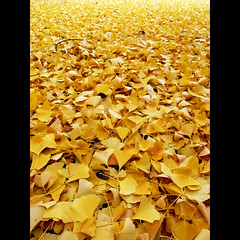 nature (shotam) Tags: park morning nature yellow ginkgo snap  osaka  grdigital ricoh  grd grd2