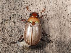 PC314832_scv (terraincognita96) Tags: coleoptera scarabaeidae rutelinae northernqueensland