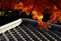 (ddsnet) Tags: autumn plant leaves japan sony autumnleaves  nippon  uji autumnal nihon 900  backpackers           kyotofu leaves autumn autumn  leaves  ujishi 900