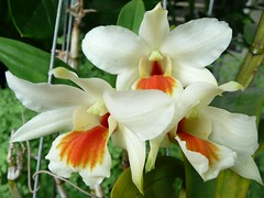 Flowers From My Garden #57  On the 3rd day, All Three Sopranos Sang! (ighosts) Tags: flowers orange white house plant flower home garden orchids exotic malaysia botanicgarden siren klang soprano brownleopardskin