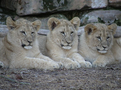 Cubs at Fort Worth Zoo