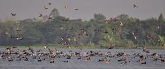 Flock of migratory birds (nurur) Tags: birds river migration bangladesh feni migratorybirds muhuri nurur muhuridam muhuririver