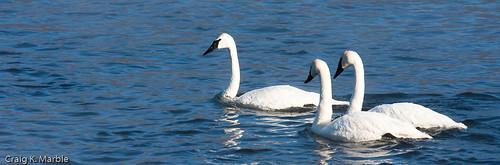 Trumpeter Swan (2 of 3)